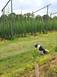 Rother Valley Brewing Company dog in hops field